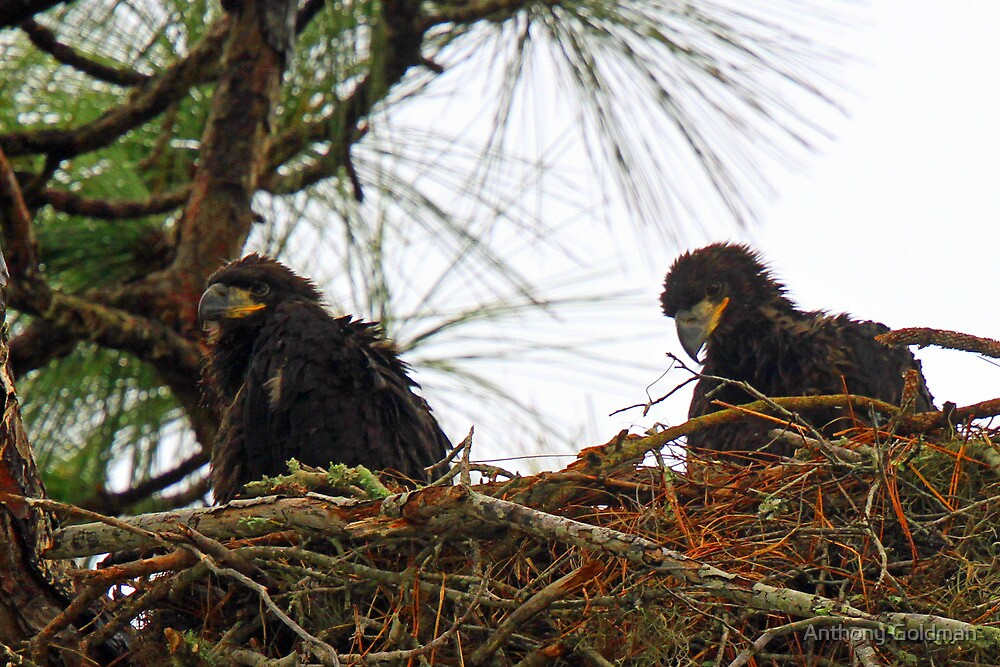 Anclote eaglets-3 weeks old and thriving ! by Anthony Goldman