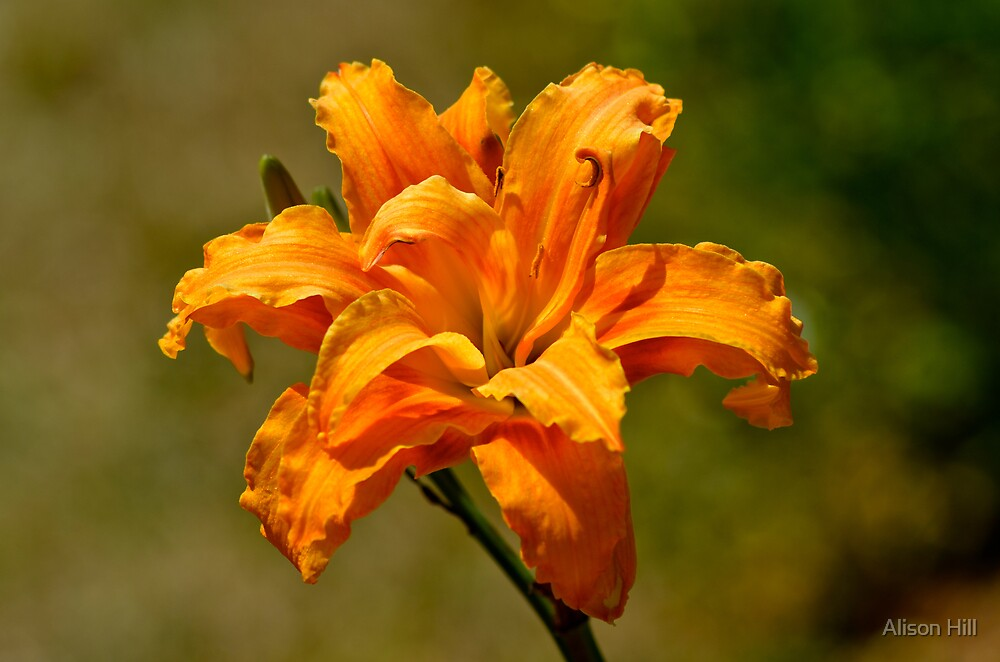 Orange Lily by Alison Hill