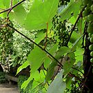 Grapes on the vine - why is that so romantic? by bubblehex08
