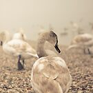 Swans by Sabaa