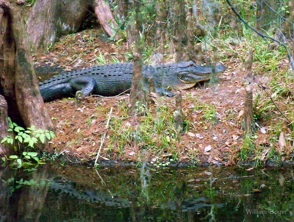 Gators on the Bank 3 by William  Boyer