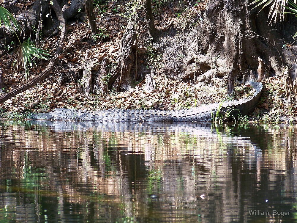 Gators on the Bank 4 by William  Boyer