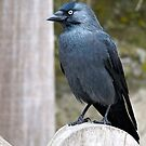 Jackdaw by Goldendays