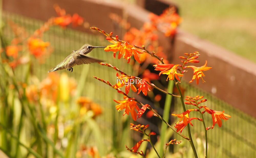 Hummingbird with Orange Flowers by ivypix