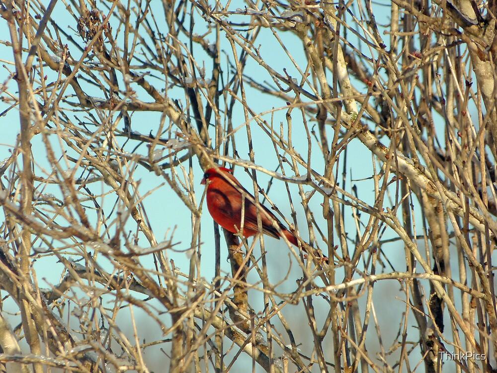 Cardinal I by ThinkPics