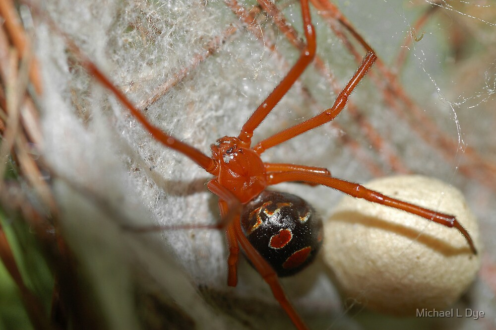 Red Widow Spider by Michael L Dye