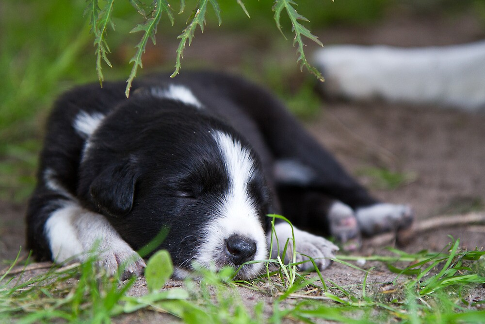 Bordercollie pup by JanPasschier