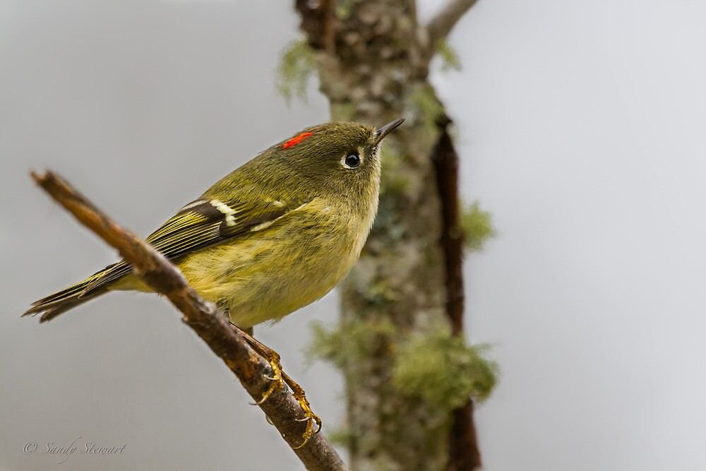 RUBY-CROWNED KINGLET by Sandy Hill