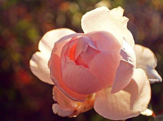 Backlit Rose by jayneeldred