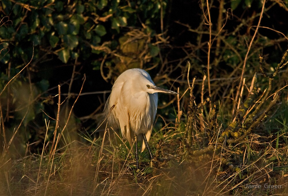 Little Egret by Jamie  Green