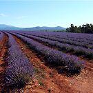 Purple fields by Meg Blake
