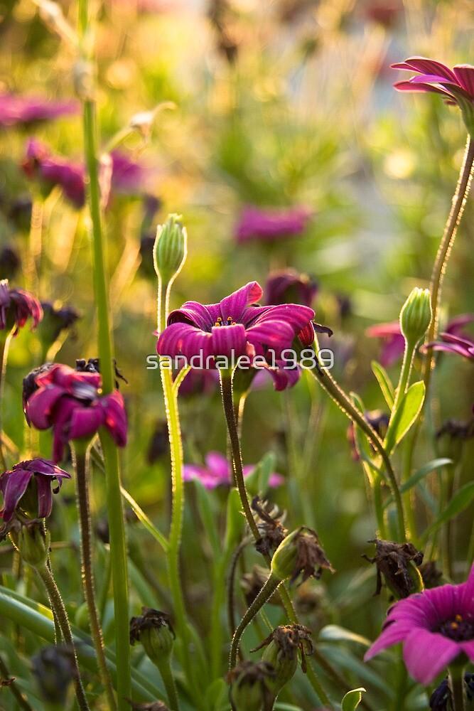 Purple Daisies  by sandralee1989
