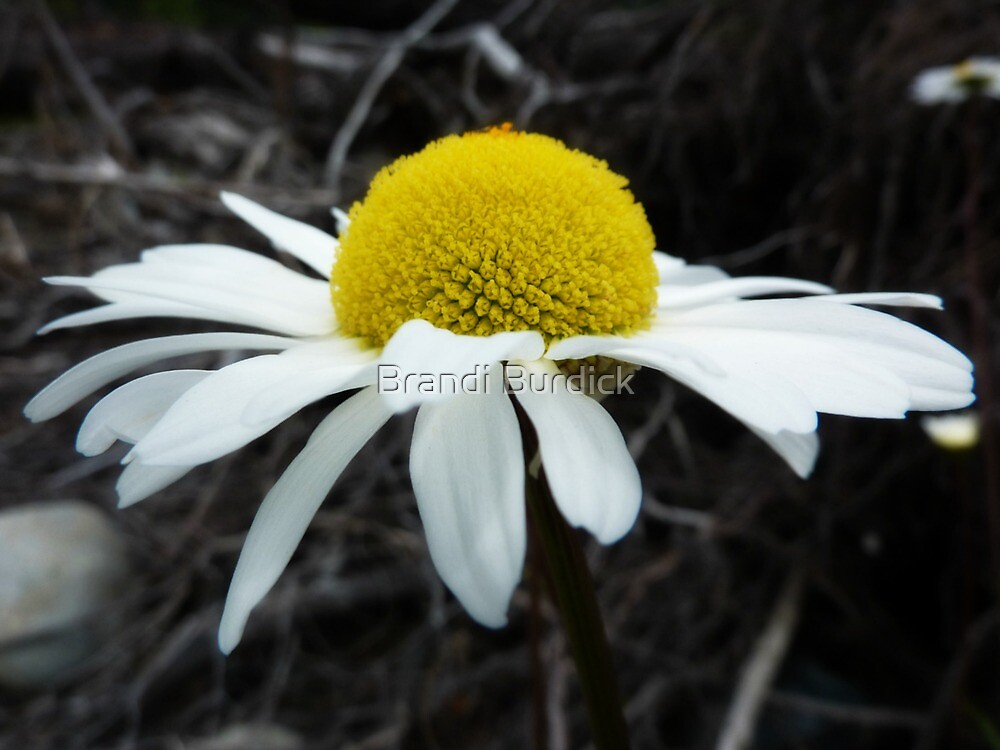 wild river daisy ~ by Brandi Burdick
