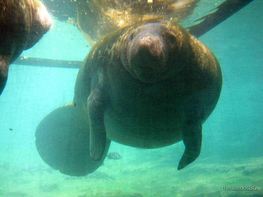 Florida Manatee by thewilsons80