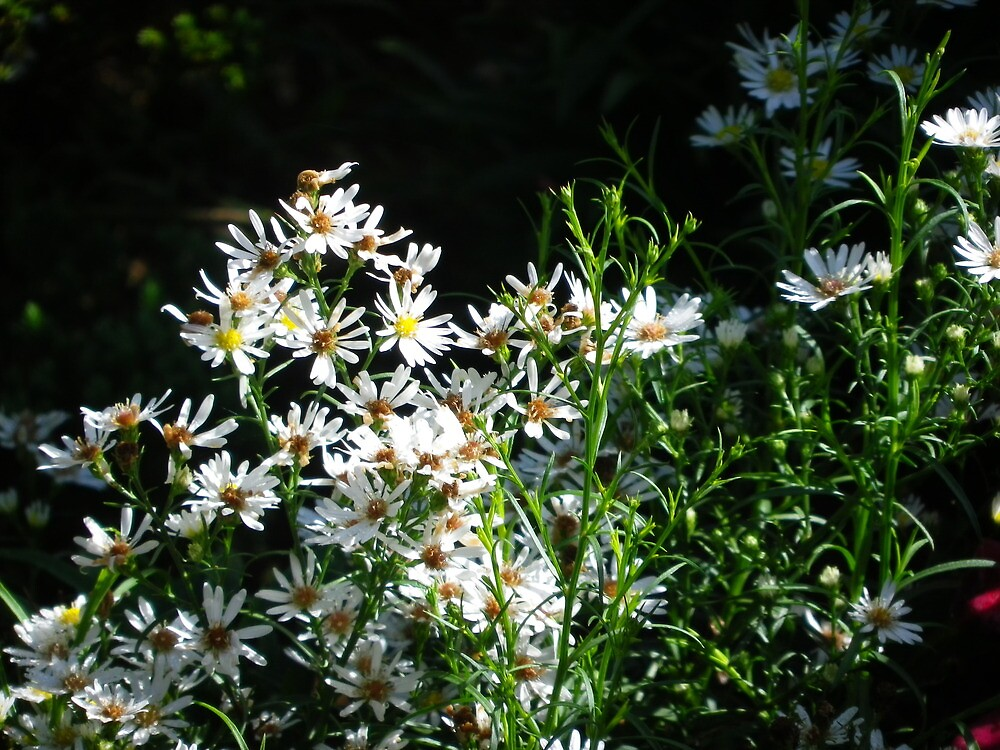 White Flowers by amazingcat