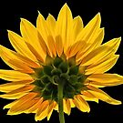 Backside of a Sunflower. by Lee d'Entremont