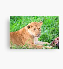 Lioness and kill Canvas Print