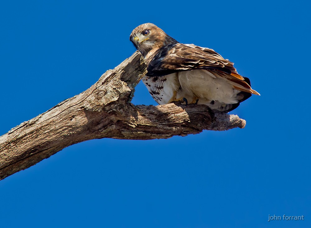 Red-tailed Hawk by john forrant