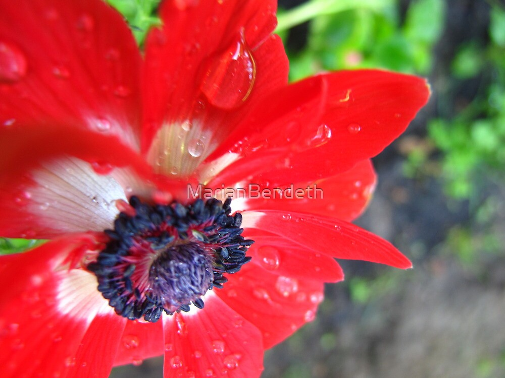 Anemone in the rain by MarianBendeth