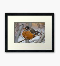 American Robin: Winter Coat Framed Print