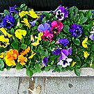 A Rainbow of Pansies by Jane Neill-Hancock