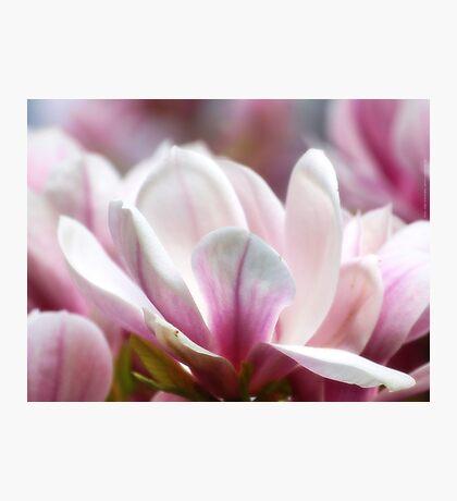 Magnolias VRS2 Photographic Print