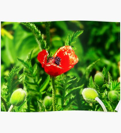 Poppy (Velvia-Style) VRS2 Poster