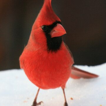 Cardinal Pic 1 by ArtistDCB