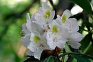 West Virginia Rhododendron Blossoms (As-Is) by Gene Walls