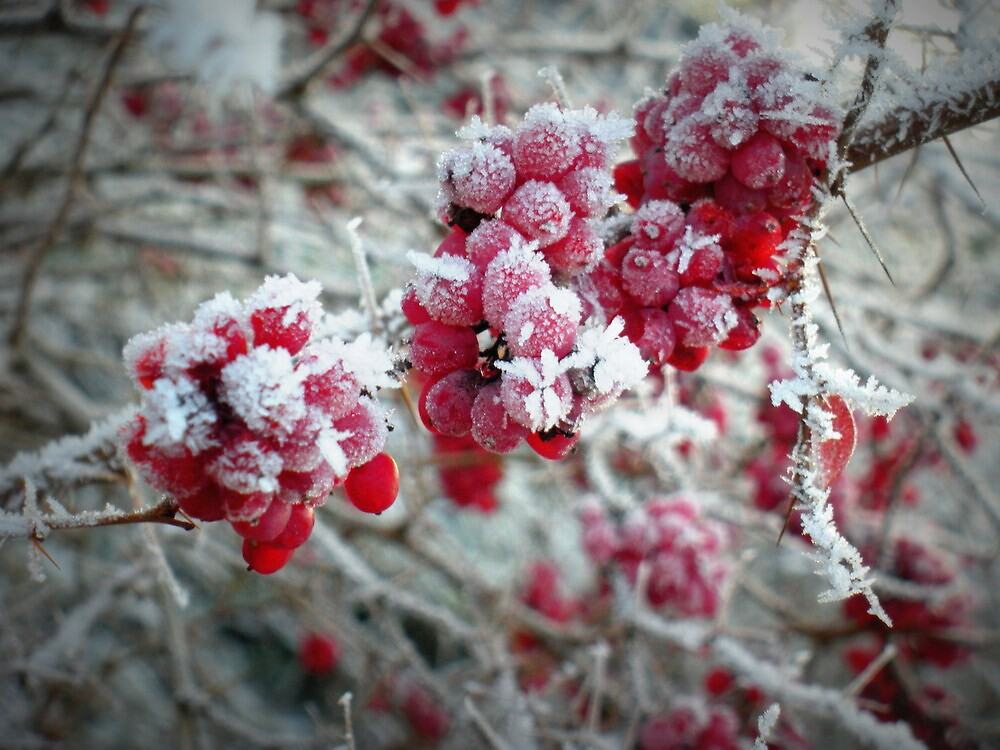 Barberry in winter by magdabrancato