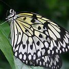Butterfly by mandamurr81