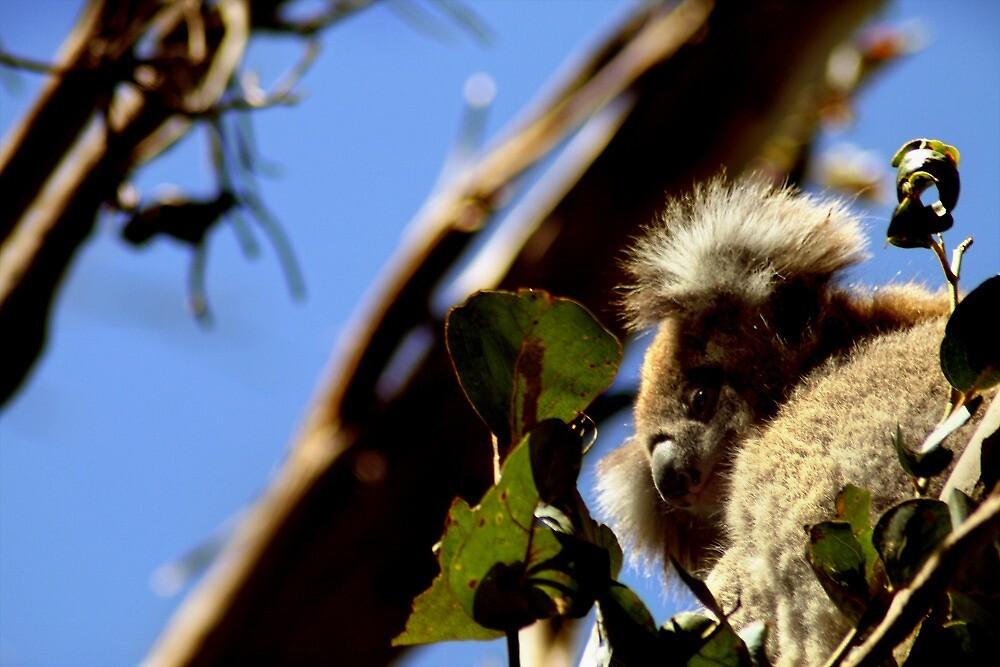 Koala by Daniel G.