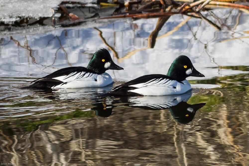 Common Goldeneye Drakes: Open Water by John Williams