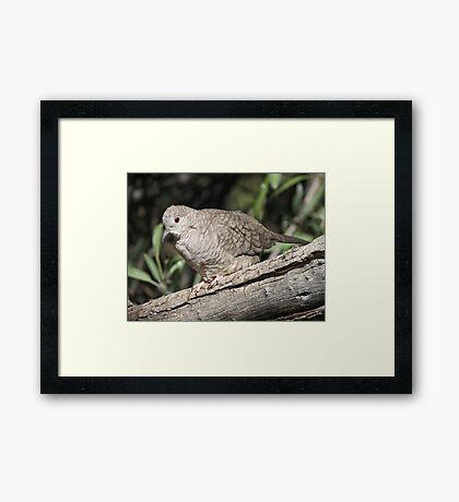 Inca Dove Framed Print