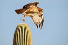 Red-tailed Hawk ~ Prickly Take-off by Kimberly Chadwick