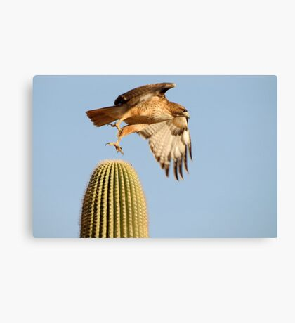 Red-tailed Hawk ~ Prickly Take-off Canvas Print