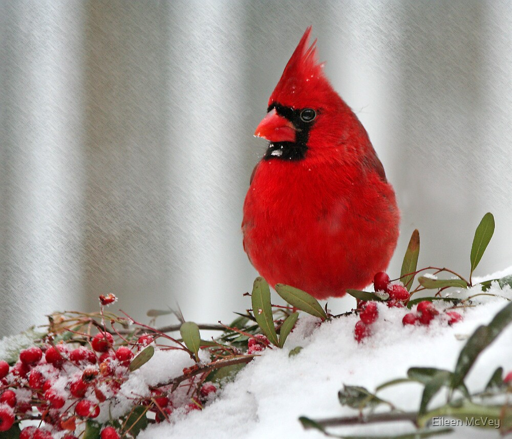 Cold Cardinal 2 by Eileen McVey