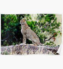 Cheeta in Masai Mara Poster