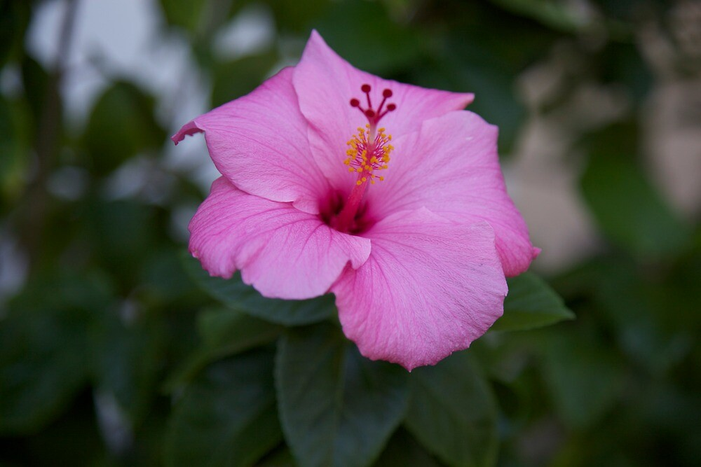 pink hibiscus  by thvisions