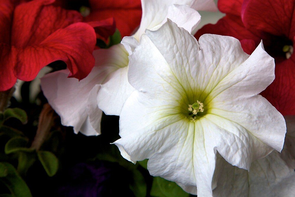 red and white petunia by thvisions