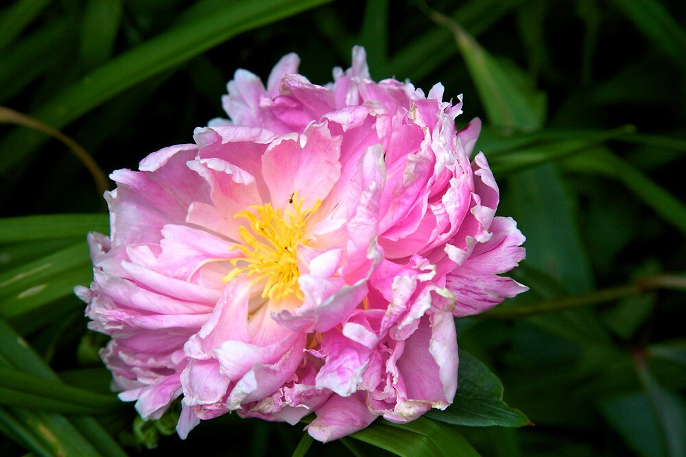peony by thvisions
