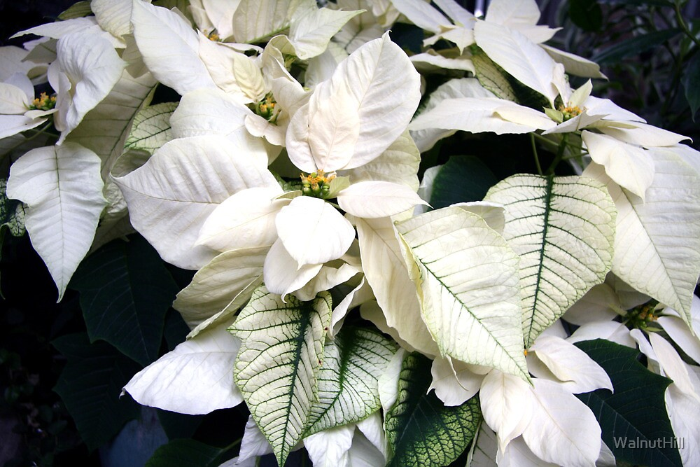 Winter White - Poinsettia by WalnutHill
