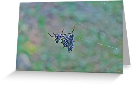 Spined Micrathena Orb Weaver Spider - Micrathena gracilis by MotherNature