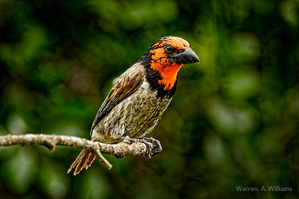 Black Collared Barbet  by Warren. A. Williams