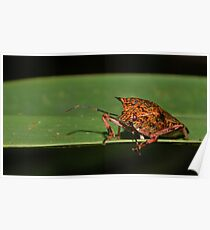 Giant Strong-nosed Stink Bug Poster