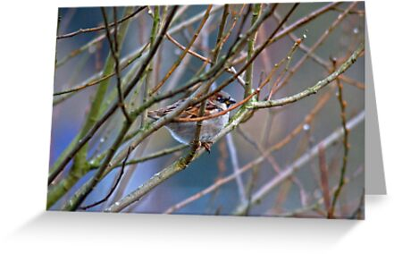 House Sparrow by Jamie  Green