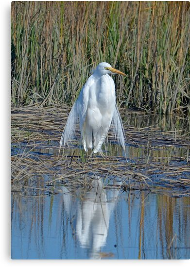 I am Queen of the Salt Marsh (Great White Egret) by TJ Baccari Photography