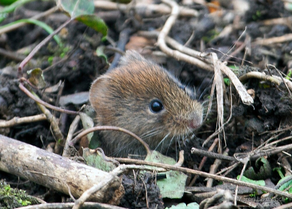 Peeping Vole by Martin Lawrence