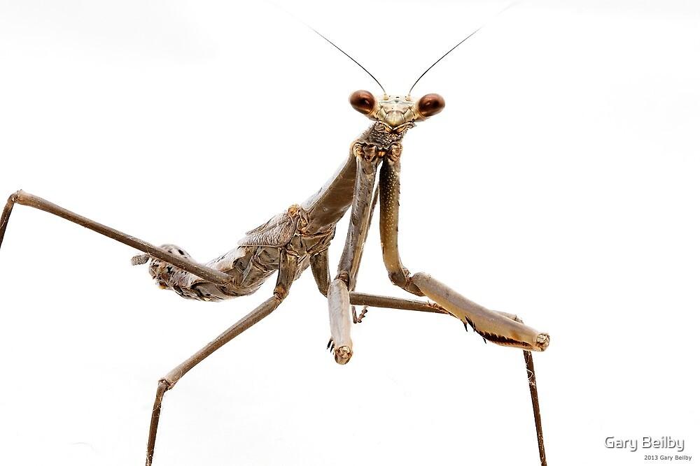 Monster Mantis (Archimantis monstrosa) by Gary Beilby
