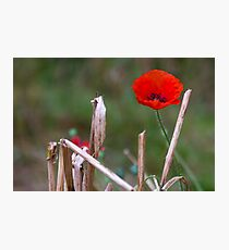 Harvest Poppy Photographic Print